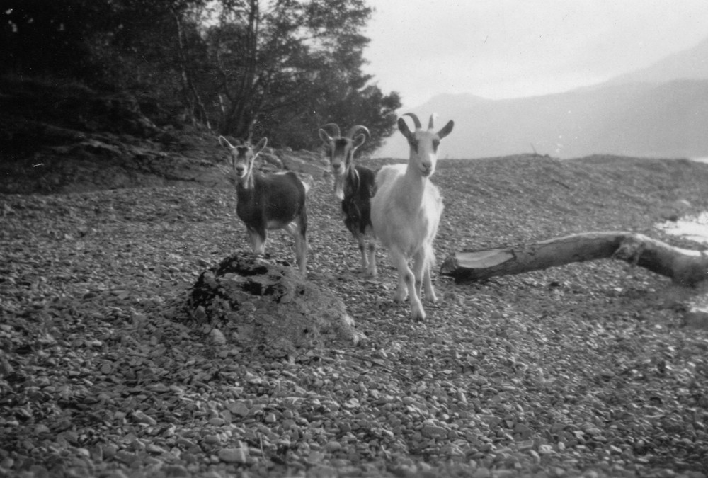 Wild Goats  on beach below Oakbank Inverfarigaig 1935 Photograph courtesy of Roger Creegan