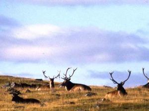 Red deer stags.