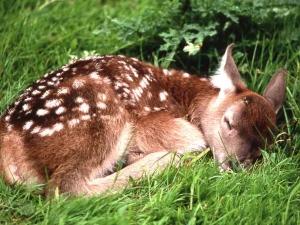 A fawn asleep.